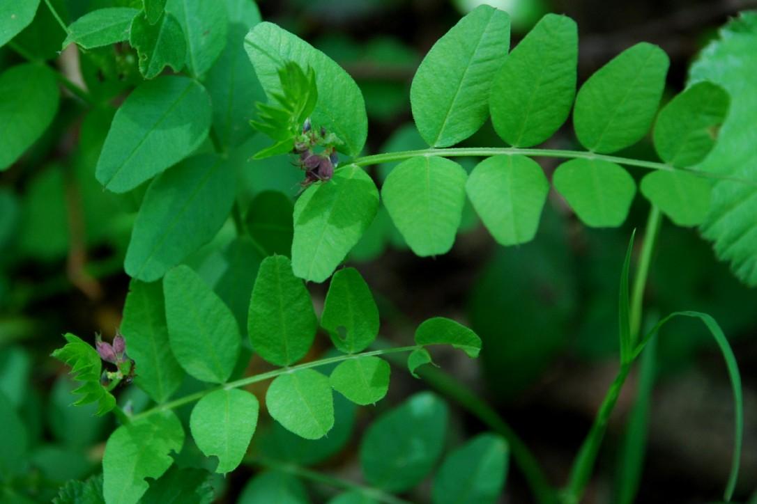 Vicia sepium 12