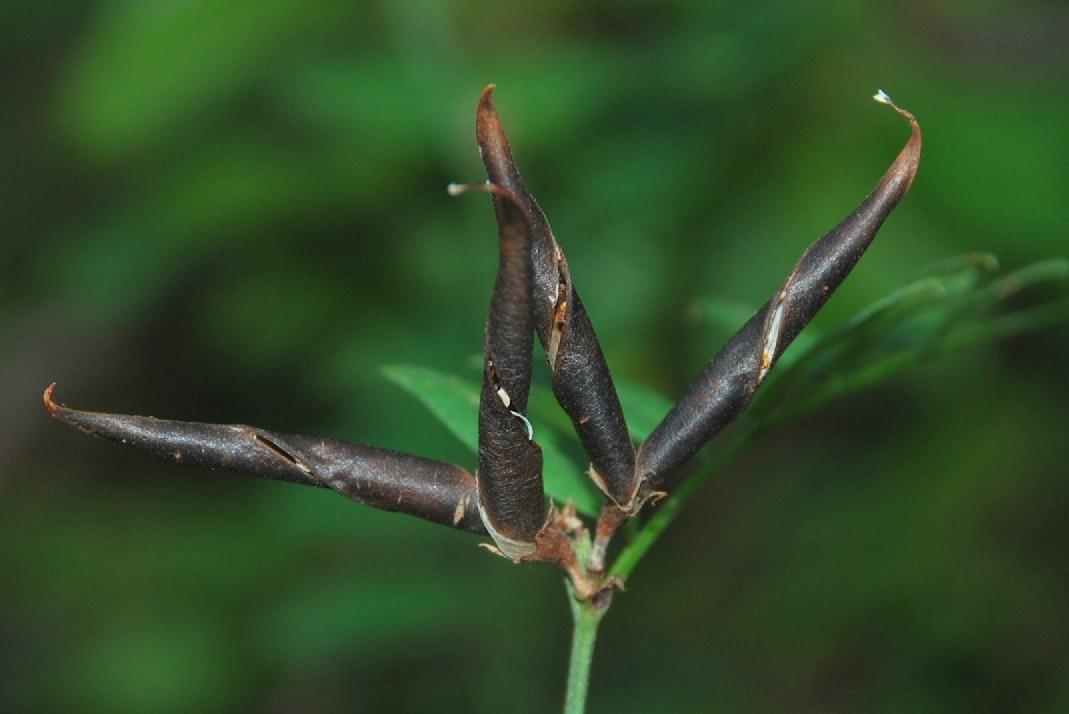 Vicia sepium 16