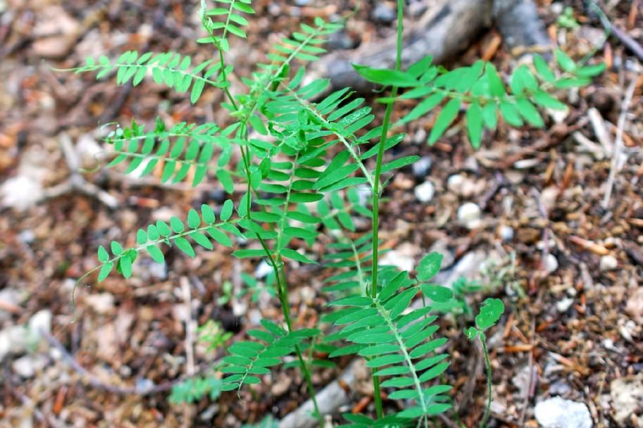 Vicia tenuifolia 13