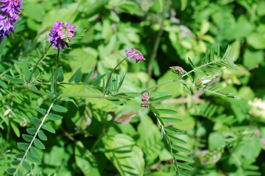 Vicia tenuifolia 8