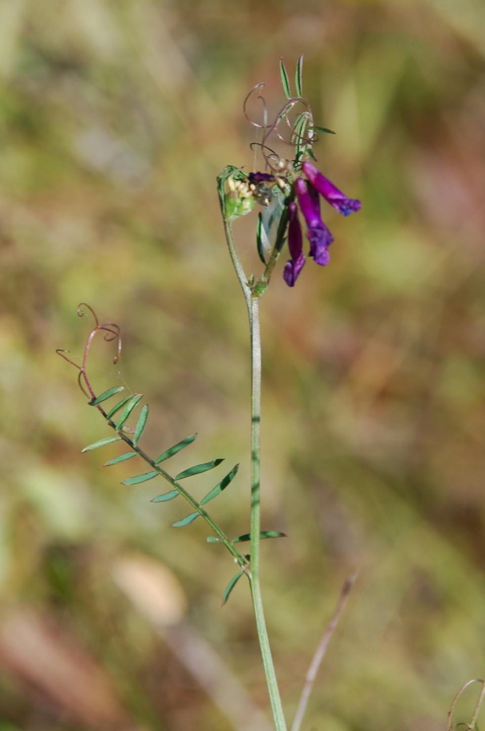 Vicia villosa subsp. varia 12