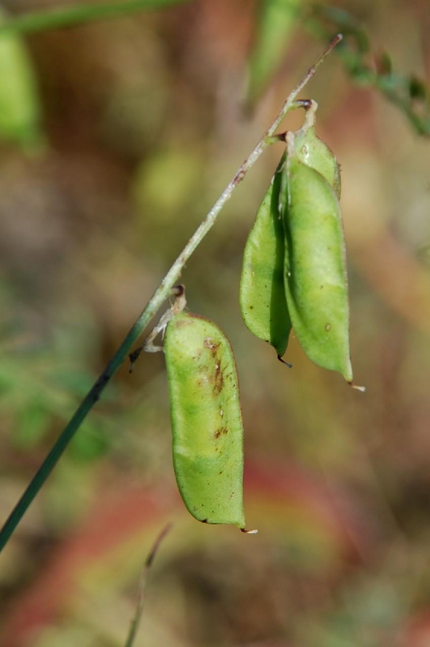 Vicia villosa subsp. varia 13