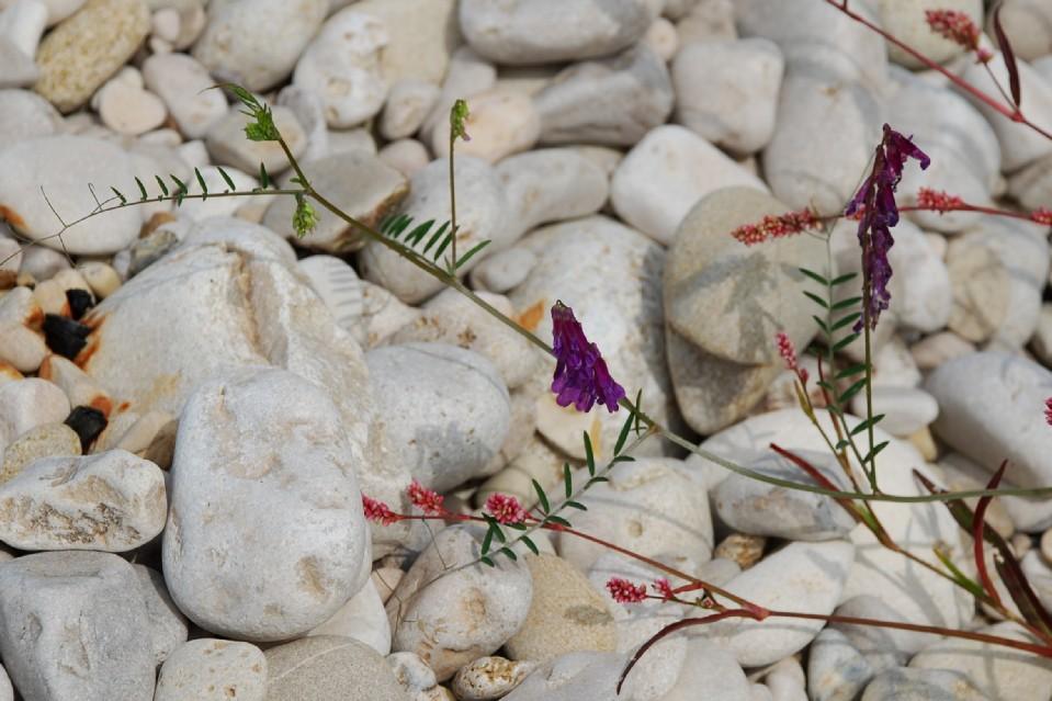 Vicia villosa subsp. varia 15