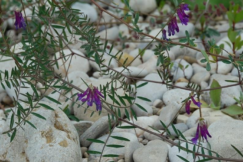 Vicia villosa subsp. varia 19