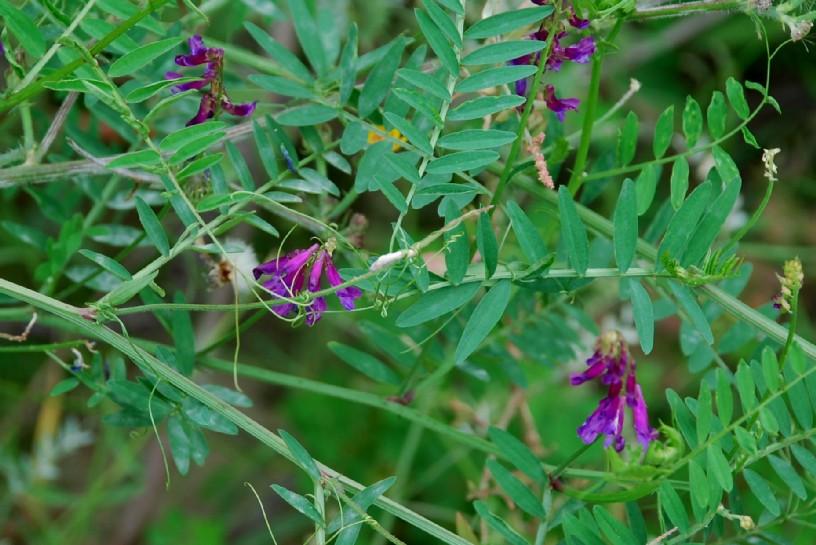 Vicia villosa subsp. varia 22