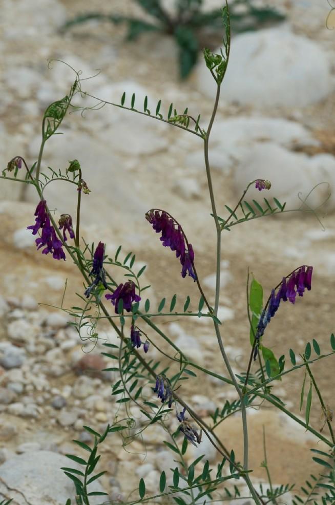 Vicia villosa subsp. varia 23