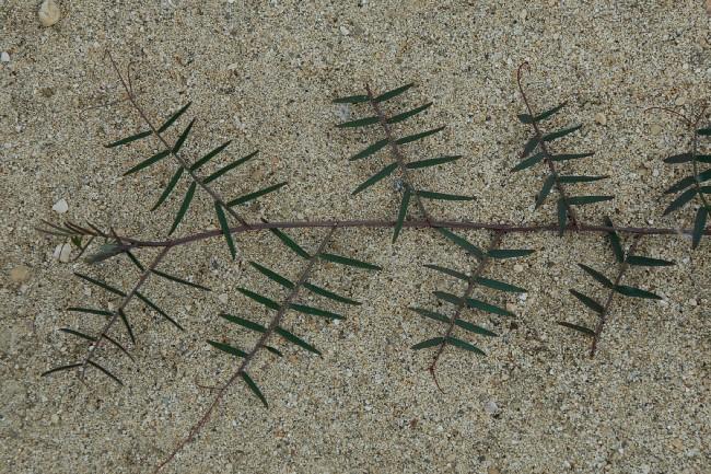 Vicia villosa subsp. varia 24