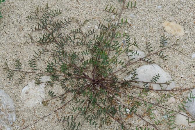 Vicia villosa subsp. varia 25