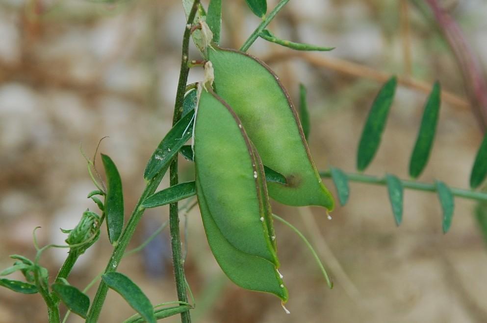 Vicia villosa subsp. varia 26