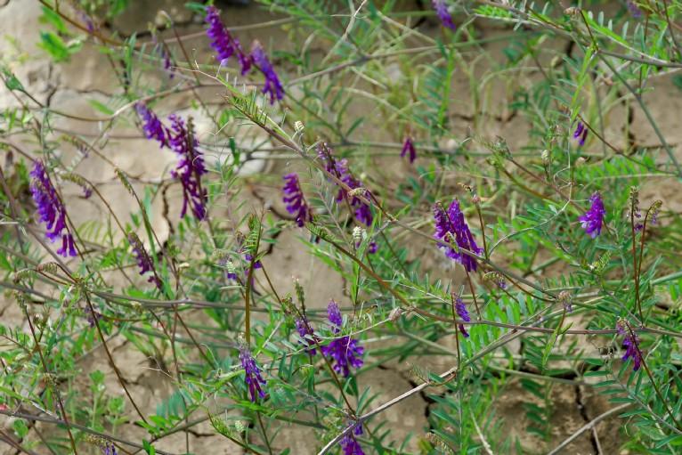 Vicia villosa subsp. varia 4