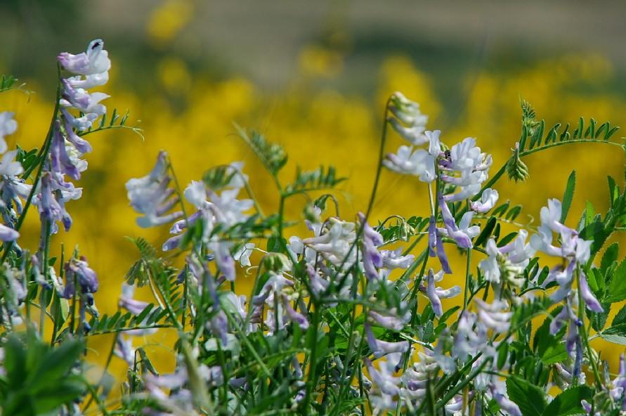 Vicia villosa subsp. villosa