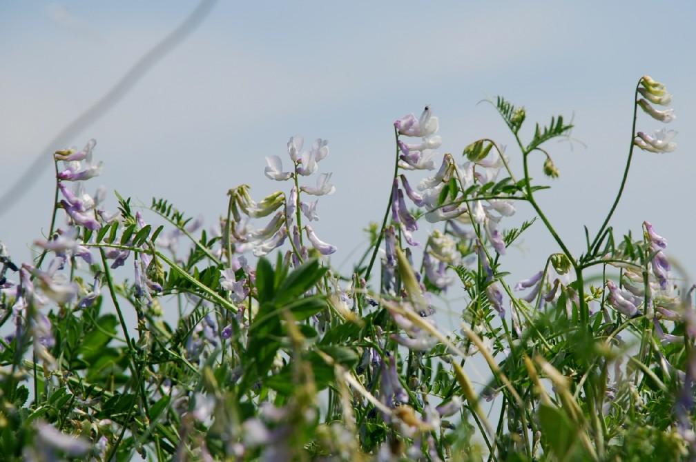 Vicia villosa subsp. villosa 9