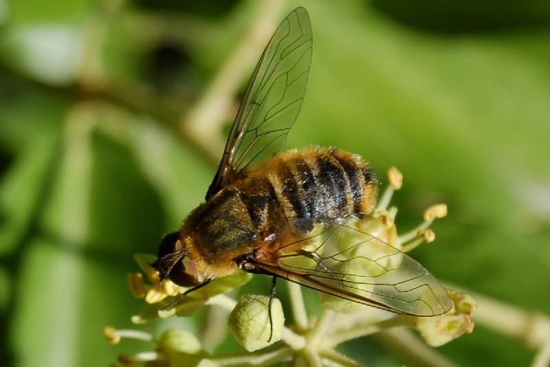 Villa sp. - Bombyliidae