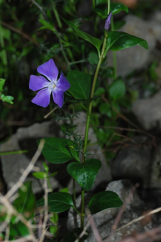 Vinca major subsp. major 12