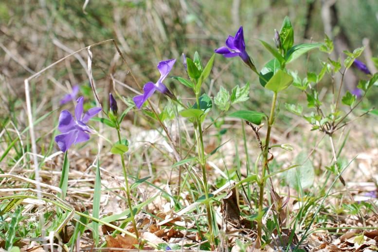 Vinca major subsp. major 23