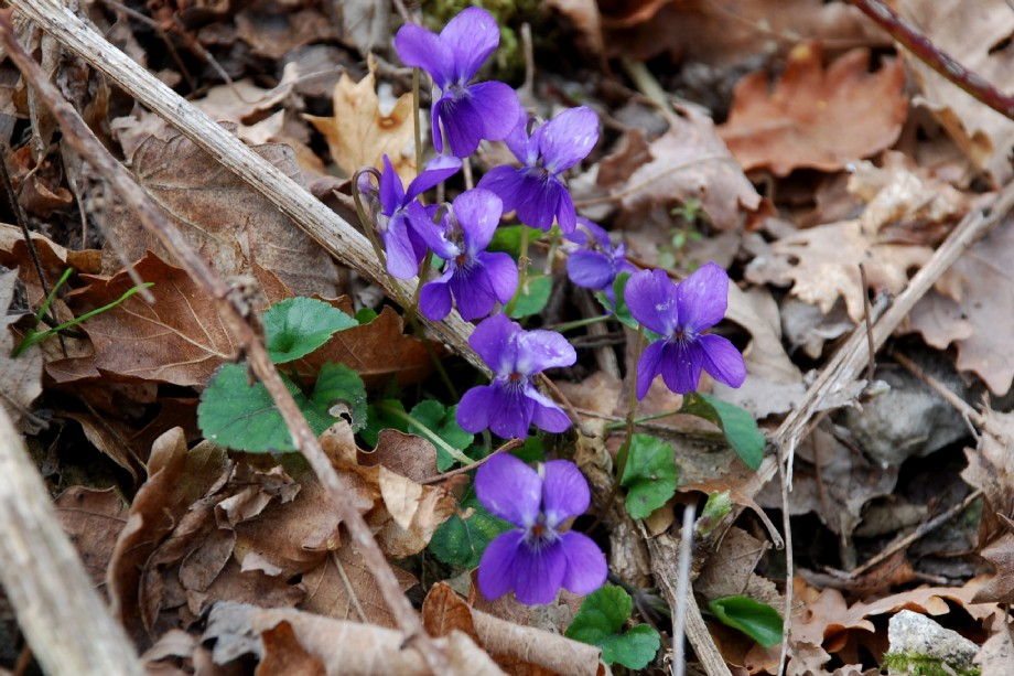 Viola alba subsp. dehnhardtii 10