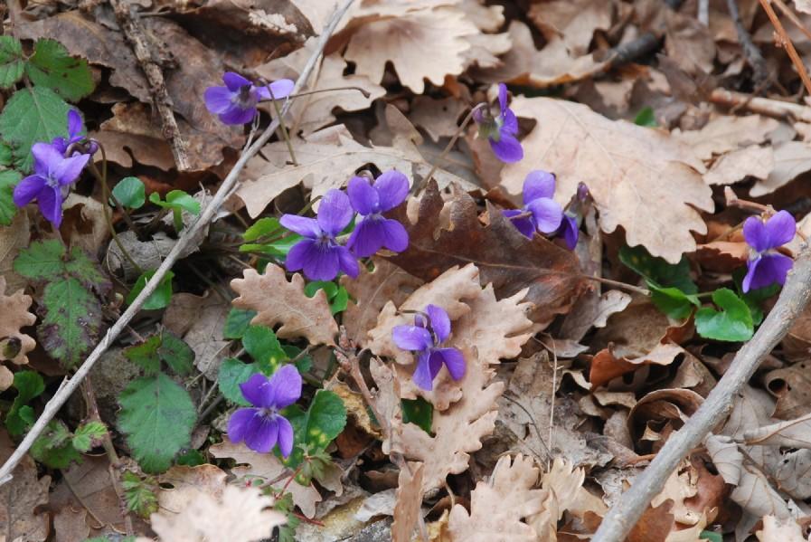 Viola alba subsp. dehnhardtii 11