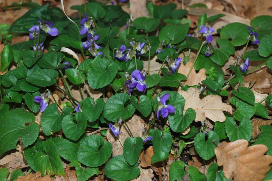 Viola alba subsp. dehnhardtii 13
