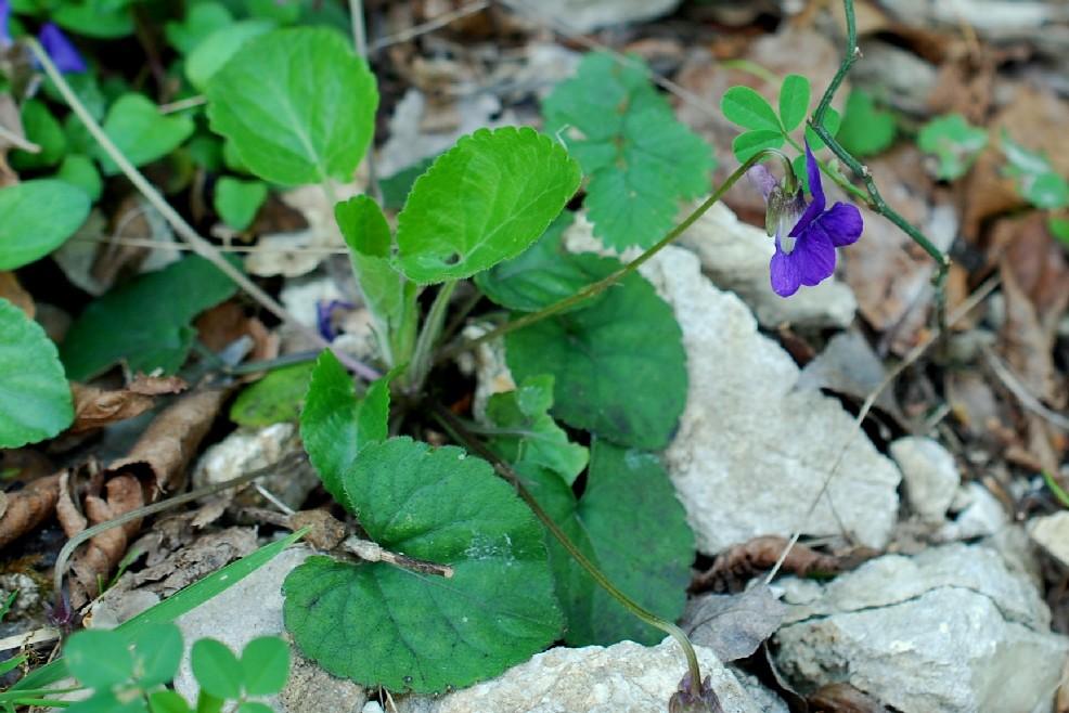 Viola alba subsp. dehnhardtii 17