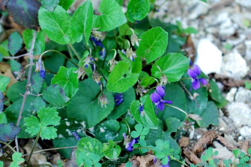 Viola alba subsp. dehnhardtii 18