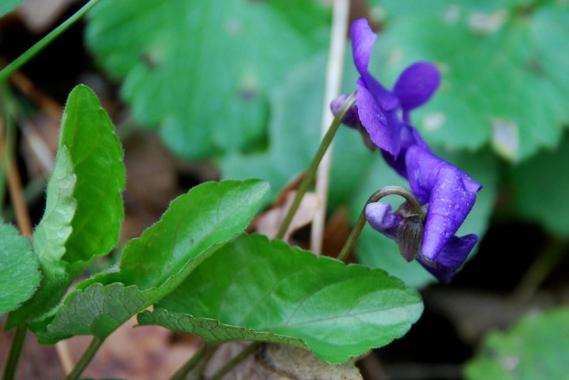Viola alba subsp. dehnhardtii 2