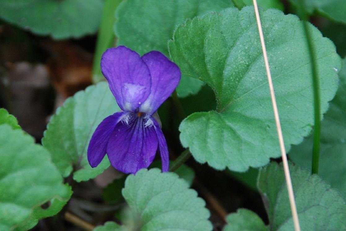 Viola alba subsp. dehnhardtii 5