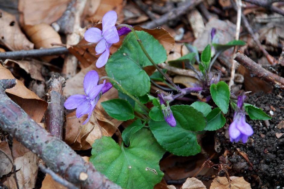 Viola alba subsp. dehnhardtii 9