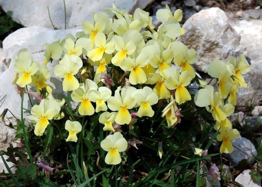 Viola eugeniae subsp. eugeniae