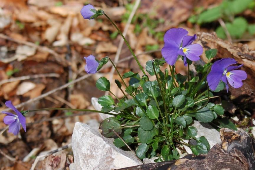 Viola eugeniae subsp. eugeniae 2