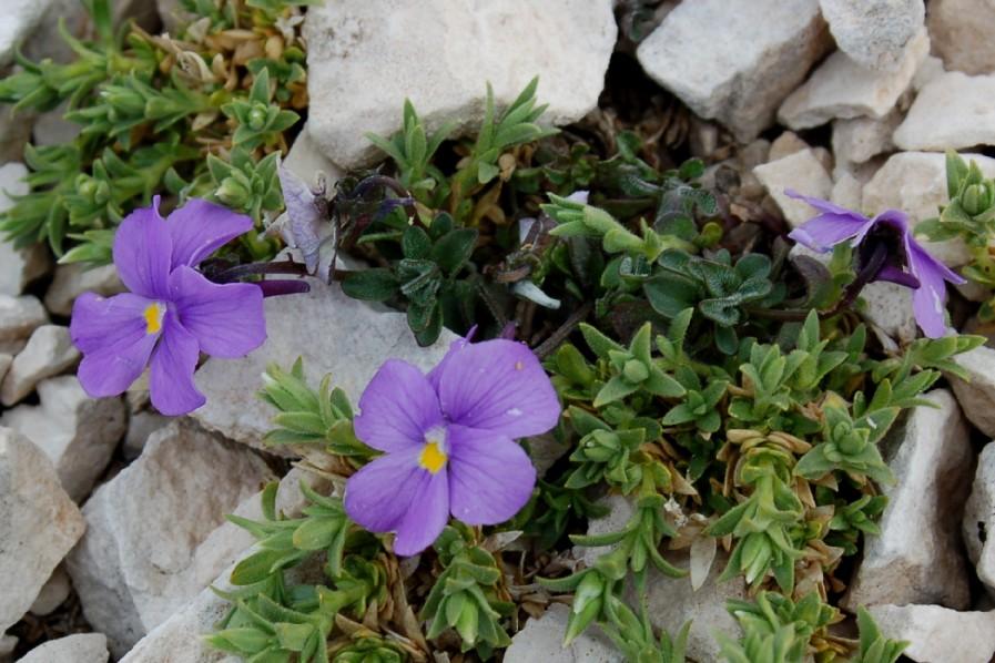 Viola magellensis 3
