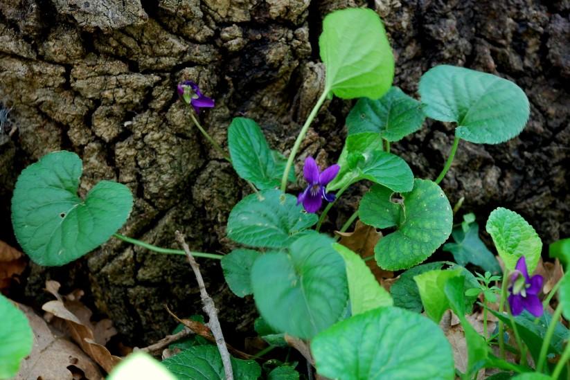 Viola odorata 2