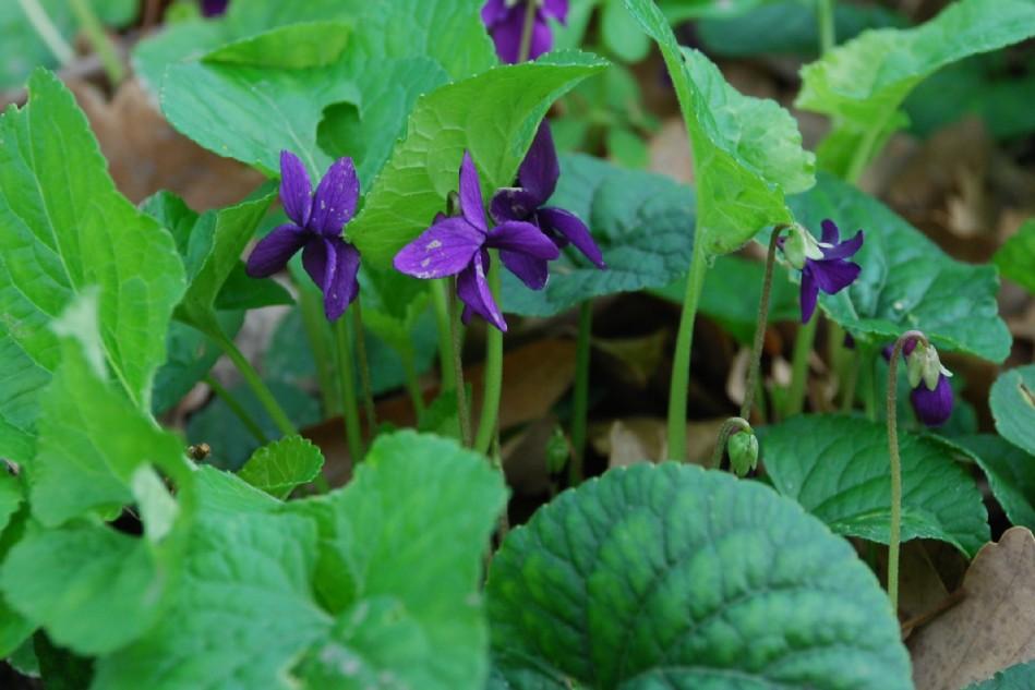 Viola odorata 3