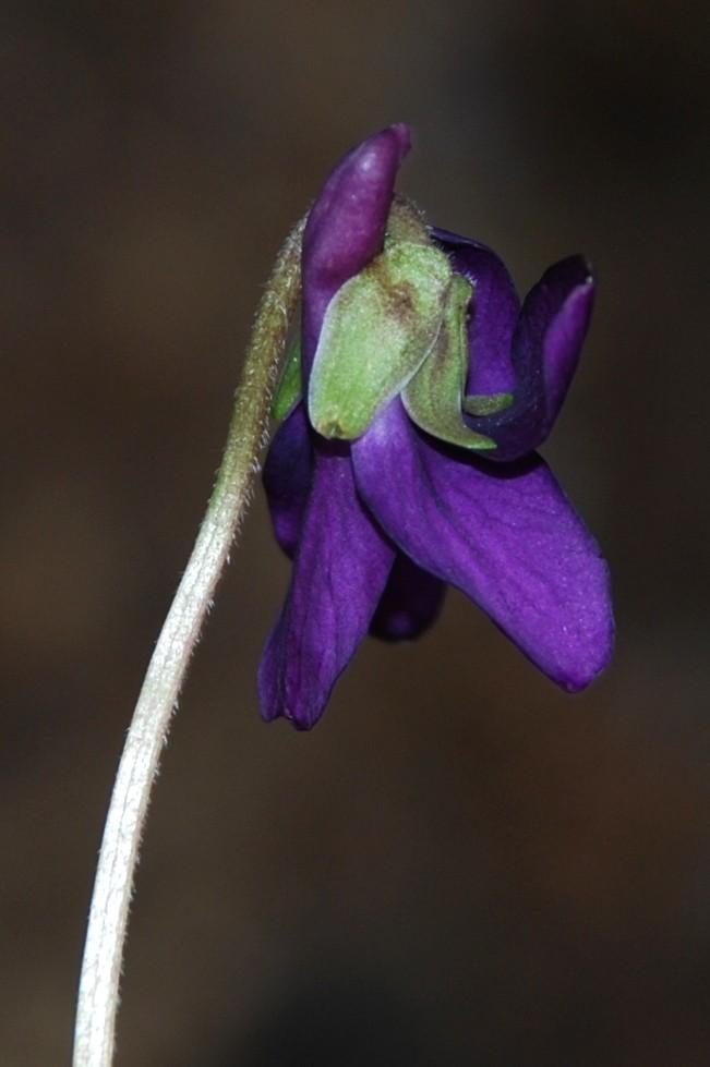 Viola odorata 5