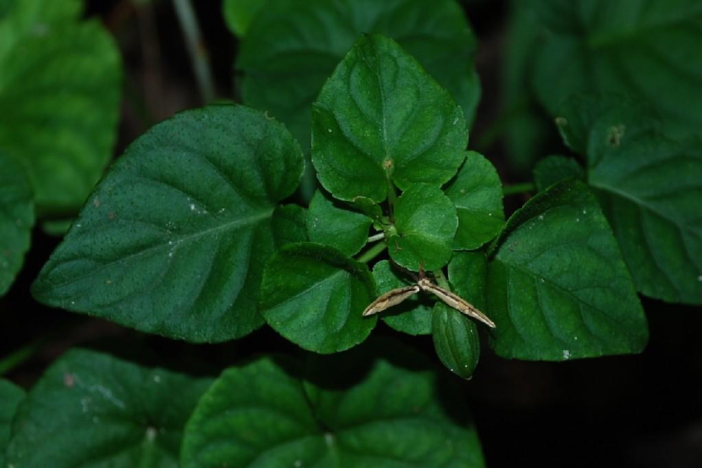Viola reichenbachiana 11