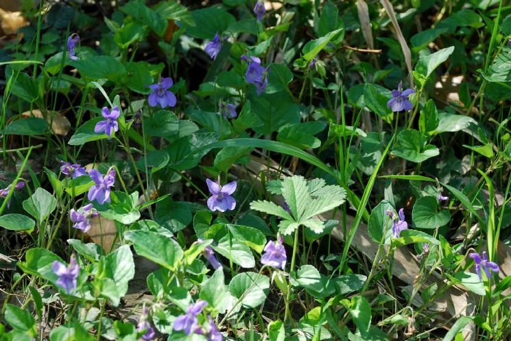 Viola reichenbachiana 14