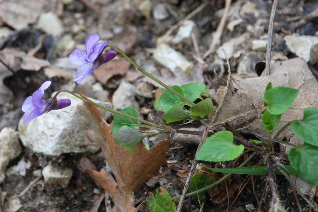 Viola reichenbachiana 17