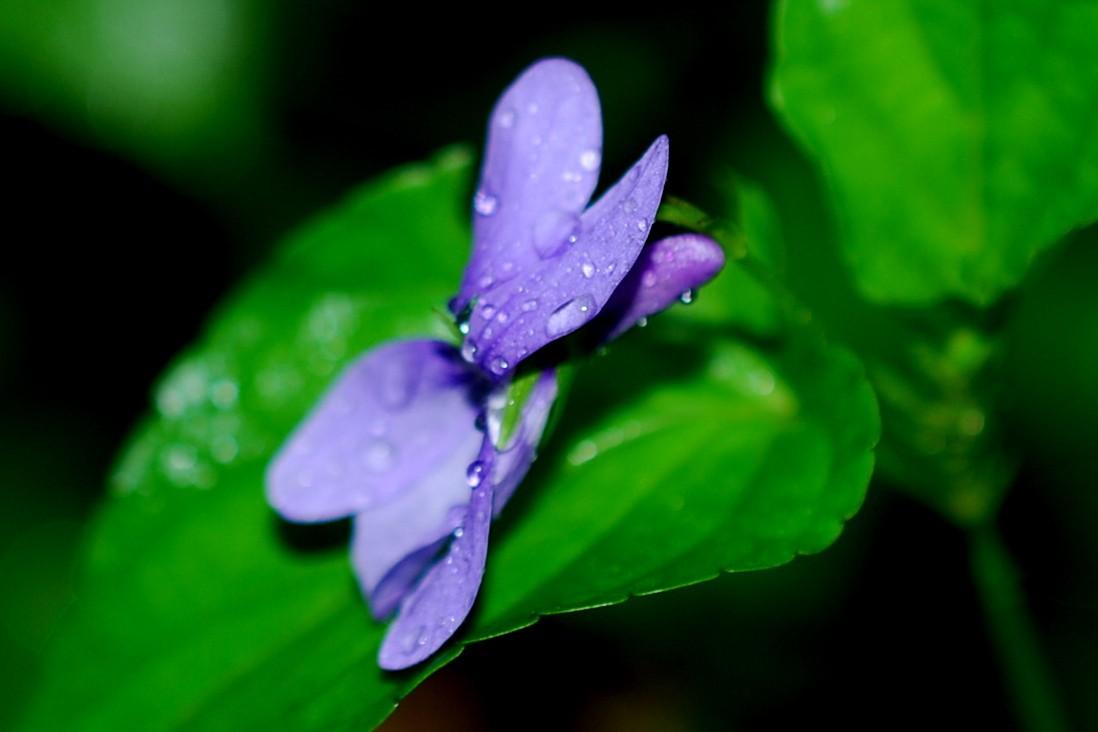 Viola reichenbachiana 20