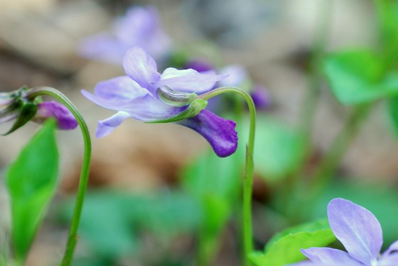 Viola reichenbachiana 21