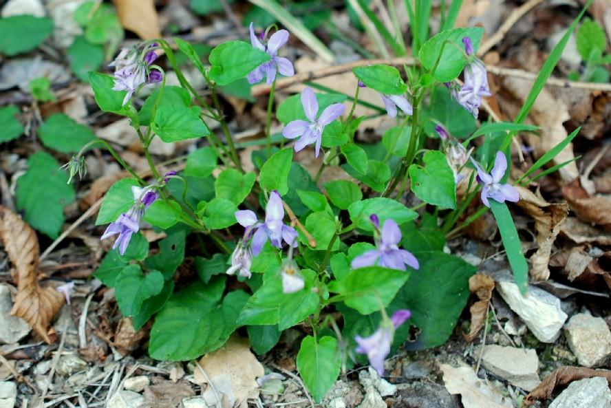 Viola reichenbachiana 22