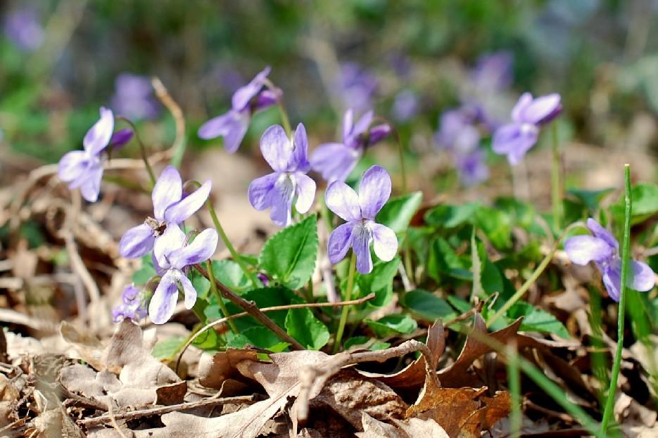 Viola reichenbachiana 24