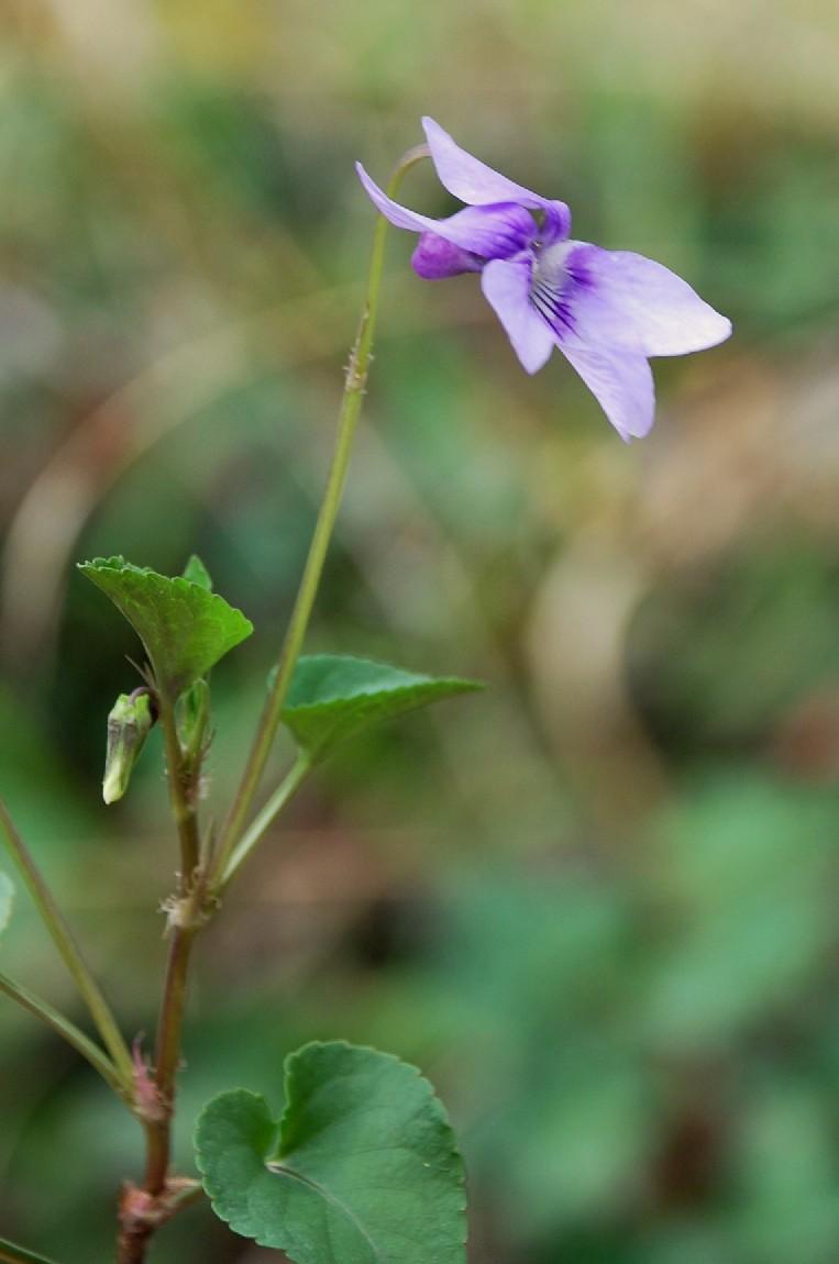 Viola reichenbachiana 4