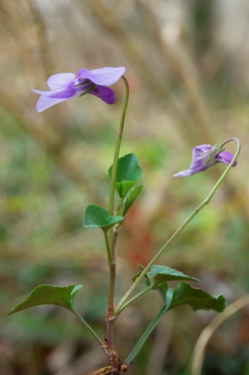 Viola reichenbachiana 5