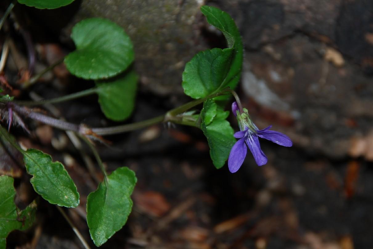 Viola reichenbachiana 8