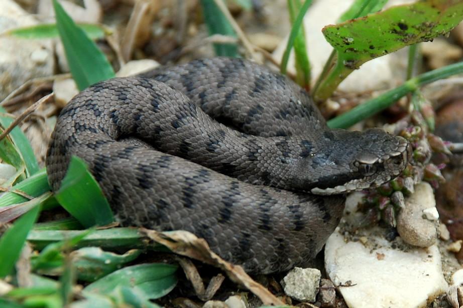Vipera aspis francisciredi - Viperidae - Vipera comune