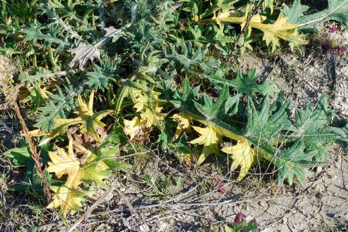 Cirsium tenoreanum