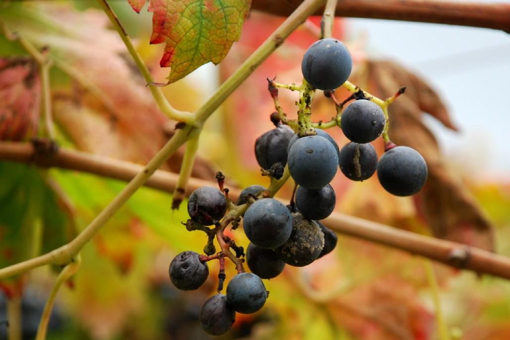 Vitis vinifera subsp. vinifera 2