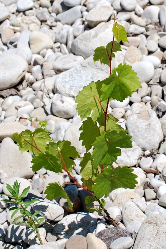 Vitis vinifera subsp. vinifera 3