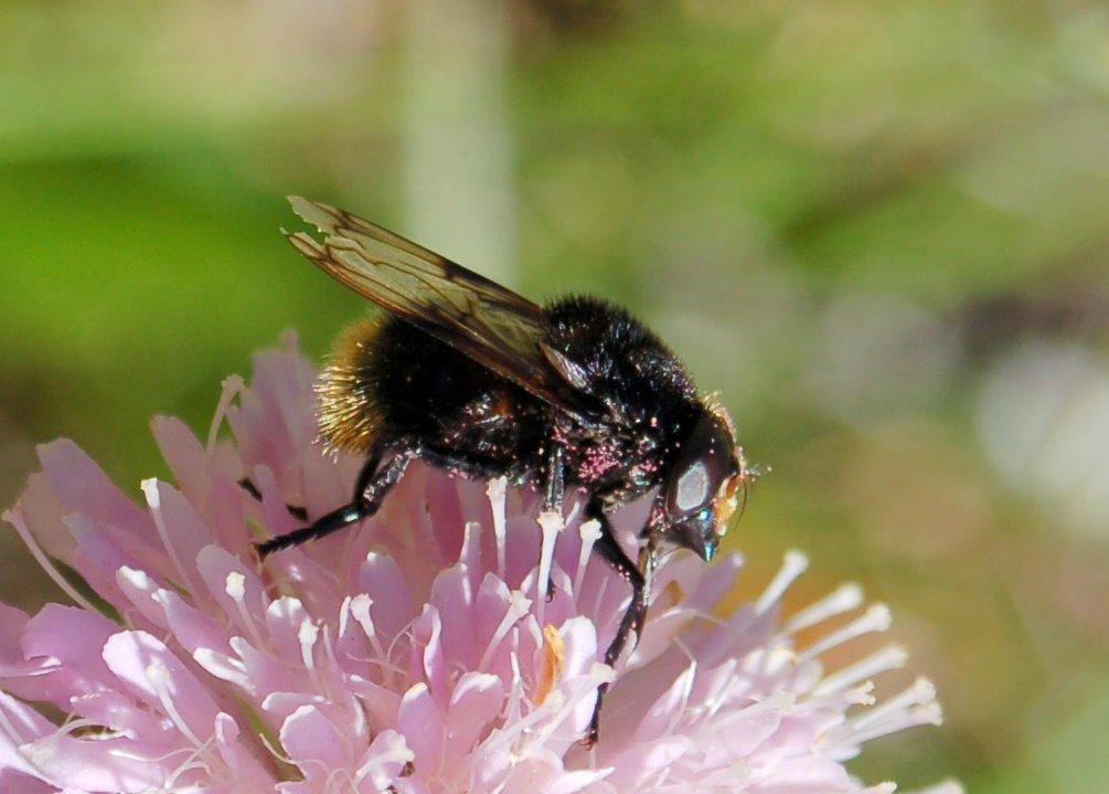 Volucella bombylans - Syrphidae