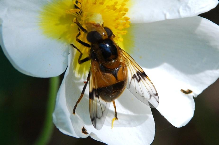 Volucella inflata - Syrphidae