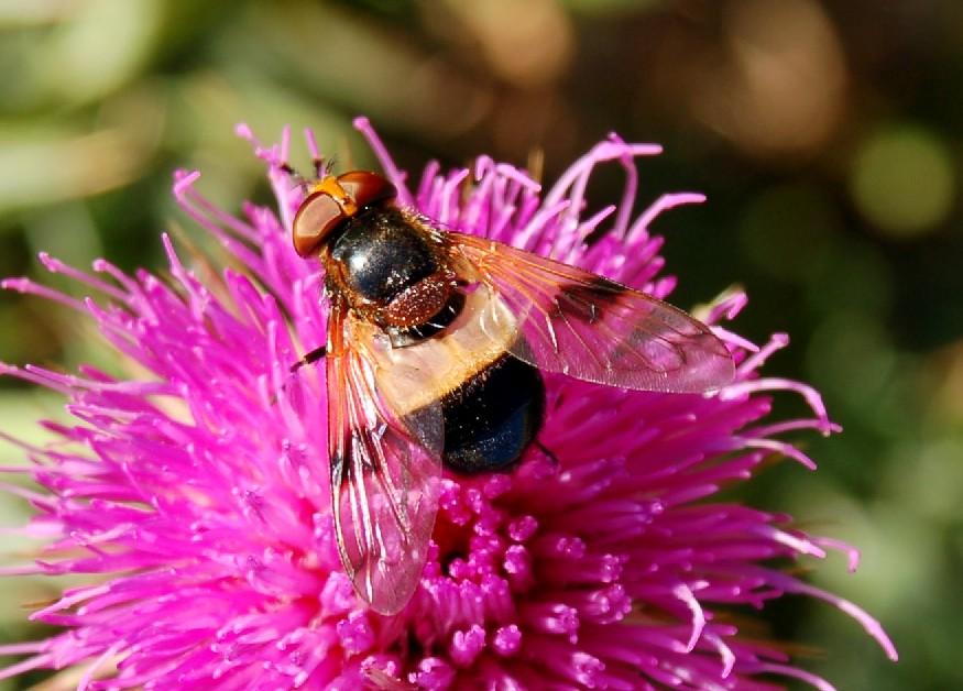 Volucella pellucens - Syrphidae